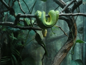 Emerald_Tree_Boa_by_Track_Maidens
