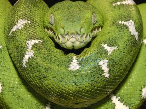 Green-Beautiful-Emerald-Tree-Boa-snake (7)