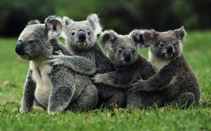 koala-ears-grass-animal-Favim.com-485062