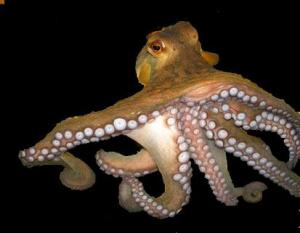 octopus-RAW-IN-THE-OCEAN