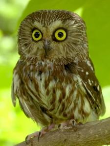saw-whet-owl-34